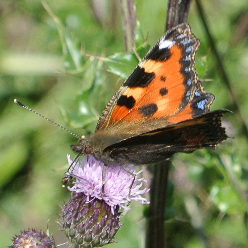 Red admiral butterfly on knapweed Suffolk by Xtrahead photography